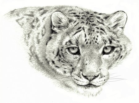 Pencil sketch - Isolated snow leopard on white background