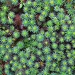Giant moss, Dawsonia polytrichoides forming a grou...