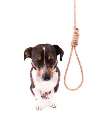 Jack Russell Terrier with a loop on a white background