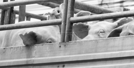 Pigs on truck way to slaughterhouse for food. The ...