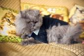 Cat in a wedding dress with bow tie