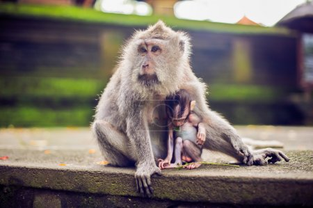monkey macaque siting on the stone. Monkey temple in Bali
