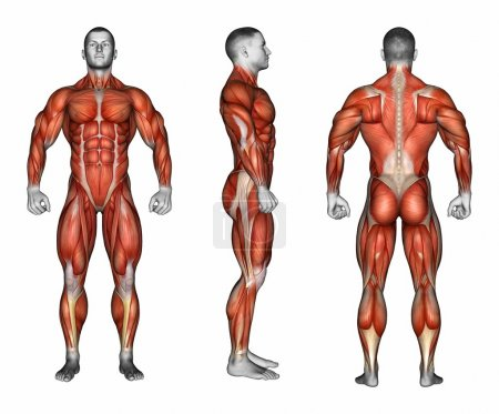 Photo for Projection of the body. Front Right Back. Showing all muscle groups that work during exercise. Exercising for bodybuilding Target muscles are marked in red. 3D illustration - Royalty Free Image