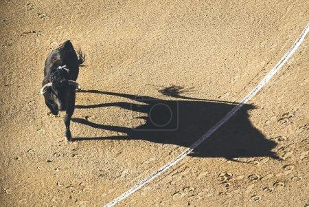 Charging bull of corrida