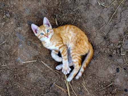 the little orange kitten plays on the ground