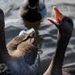 Goose with Open Mouth and Teeth in Water...