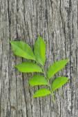 Fresh leaves on ole wood