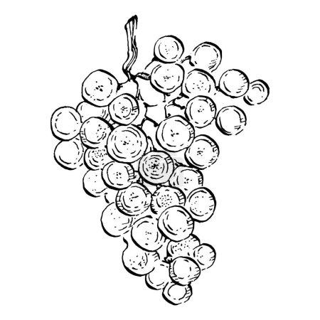 Illustration pour Croquis de raisins dessinés à la main. Vigne de vin en gros plan contour, feuilles, baies. Clip art noir et blanc isolé sur fond blanc. Illustration de gravure vintage antique pour le vin design. - image libre de droit