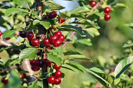Cherry orchard in Europe