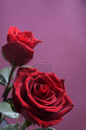 Photo for Background for Valentine's Day greeting card.Valentines day concept.Red, beautiful blooming rose. Close up - Royalty Free Image