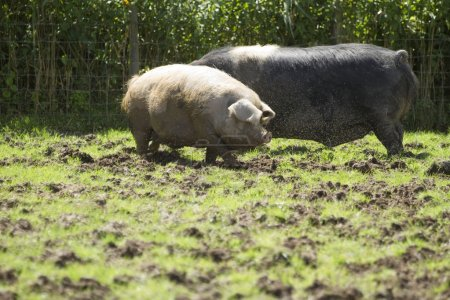 Two outdoor pigs in a field surrounded by flies