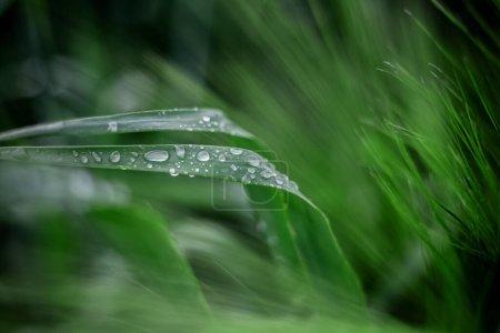 Photo pour Gros plan de feuilles vertes humides de fleurs avec des gouttes d'eau dessus. Rosée du matin, concept de fond naturel. - image libre de droit
