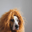 Portrait of a dog with mane to look like a lion. L...