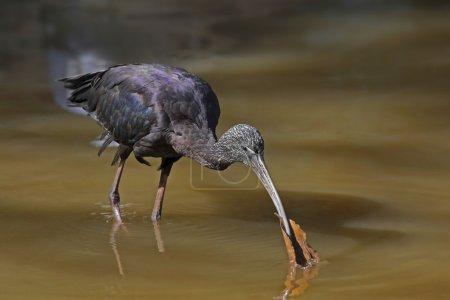 Ibis, a large bird