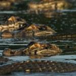 Alligators,  Sustainable development reserve, Braz...