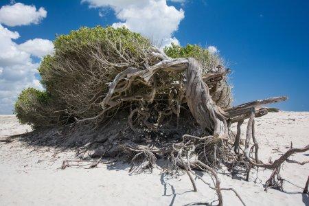 tree on beautiful Jericoacoara Beach