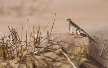 Lizard in Liwa desert