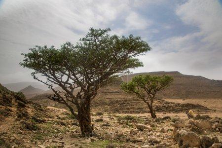 Frankincense tree in Salalah, Oman