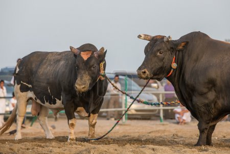 Two Bulls before a fight in Fujeirah