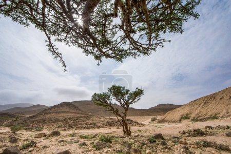 Frankincense trees in Salalah
