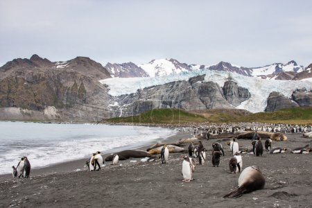 Gentoo penguins on Barrientos island