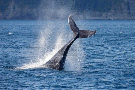 Photo pour Belle faune de baleine à bosse - image libre de droit