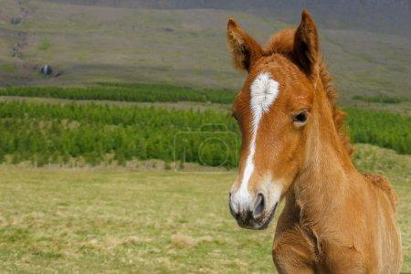 Icelandic horse foal