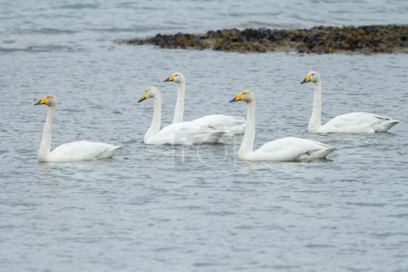 Whooper swans swimming in the ocean