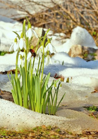 snowdrops in the garden in the spring